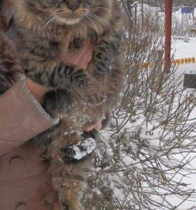 Пордистые котята Курильского бобтела