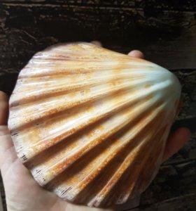 Ракушка моллюск