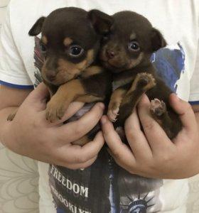Продаю щенков