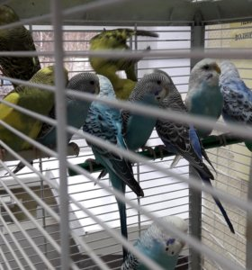 Волнистые попугаи Все анализы