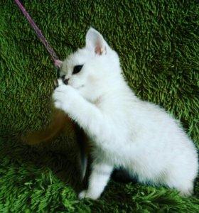 В продаже шотландские котята , кошки , коты