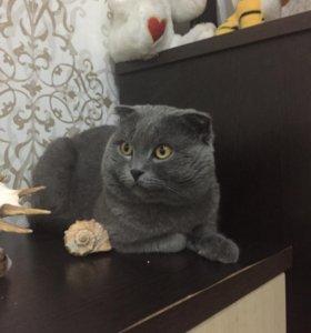 Шотландский вислоухий кот ждёт кошечку на вязку