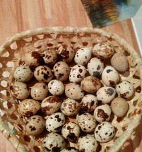 Яйца перепелинные
