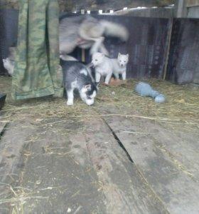 Продаются чистокровных щенков сибирской хаски