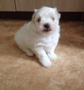 Мальтийской болонки щенок мальчик 1.5 месяца.