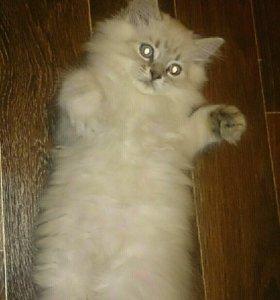 Шотландские котята д. р 18.08.18