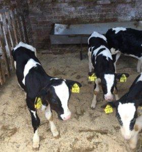 Телята бычки от двух недель до 2.5 месяцев