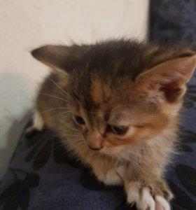 Кошечка метиска от абесинской мамы