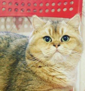 Bяzka золотой кот/ есть котята!