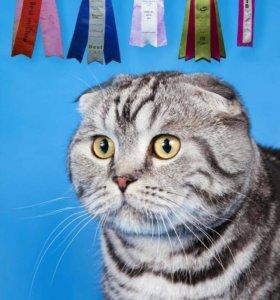 Шотланские котята вислоухие
