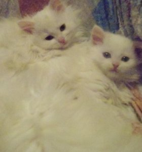 Чудесные белые котята