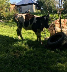 Продам быка почти 6 месяцев месяцев