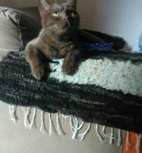 Суперский шотландский кот