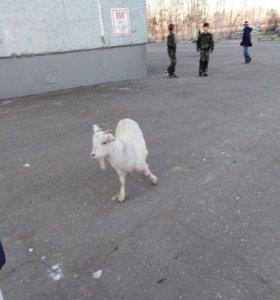 Коза лечебная