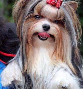 продаётся щенок Бивер-Йорк для шоу и разведения