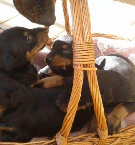 Продаются щенки добермана.