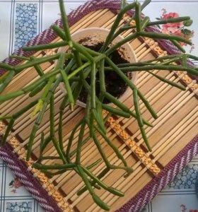 Рипсалис-лесной кактус