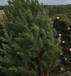 Новогодняя елка (сосна) оптом