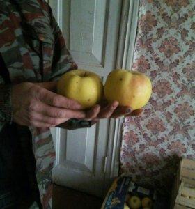 Яблоки,вкусные сладкие,Синап Победа