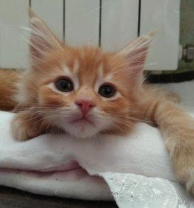 Котята породы МЕЙН-КУН!