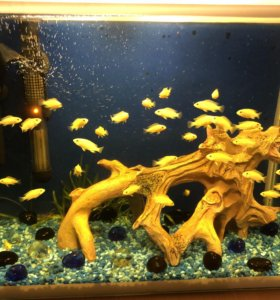 Аквариумные рыбки Лабидохромис Еллоу