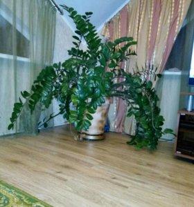 Долларавое дерево или Замиокулькас