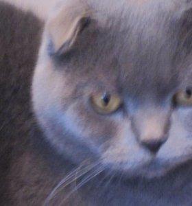 Вязка с котом шотландским вислоухим