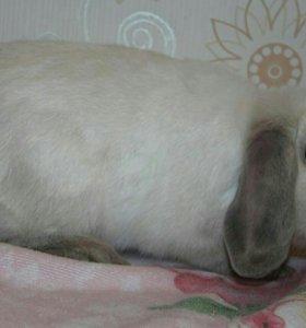 Карликовая крольчиха из Венгрии с документами ЕЕ.