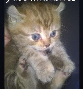 Продаются котятки-британятки
