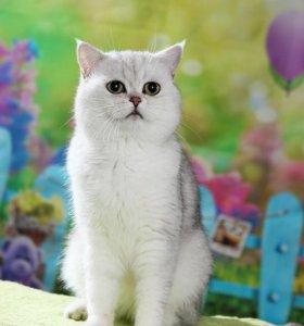 фотосессия ...Британский Кот для вязки
