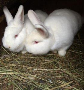 Белые новозеландские крольчата