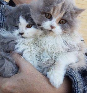 Продаются котята шотландской длинношёрстной.