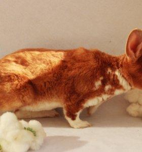 Продам декоративного кролика