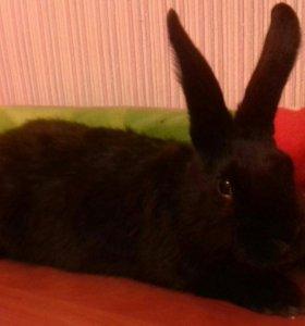Кролики Русского Великана