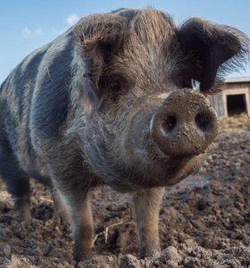 Обменяю свиней
