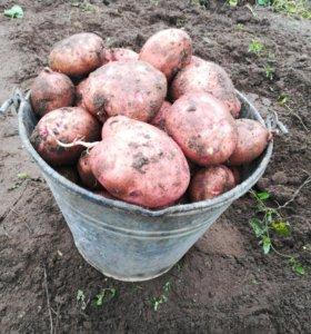 Овощи картофель морковь свекла