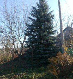 Голубая ель 8,5 м