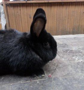 Кролики нзб и нзч
