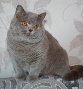 Котик лиловый, британец.