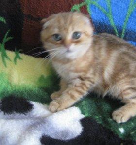 Золотые мраморные котята вислоушки