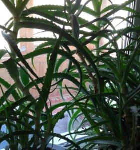 растения оздоровительные