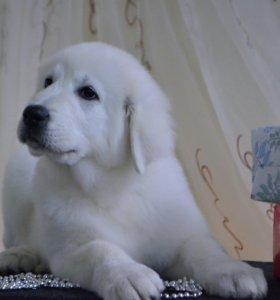 Продаются щенки Мареммо Абруцкой овчарки