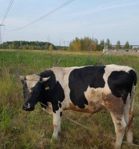 Быки на мясо и доращивания