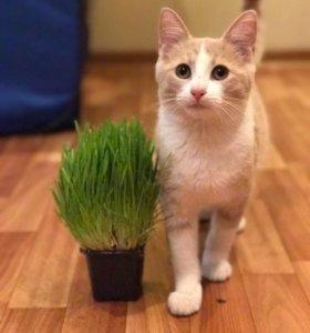 Котенок Томас - персиковый красавиц в дар.