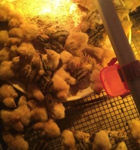 Продаю суточных и подросщенных птенцов перепелки .