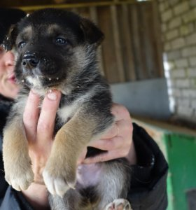 Чистокровные щенки немецкой овчарки (6 недель)