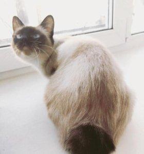 Кошка породы тойбоб