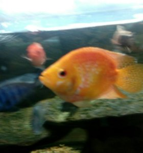 Аквариумные рыбы Флауэр хорм