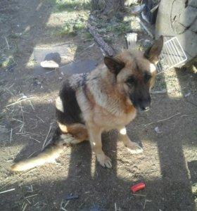 Предлогаю к бронированию щенков немецкой овчарки