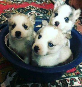 Продам щенят хаски
